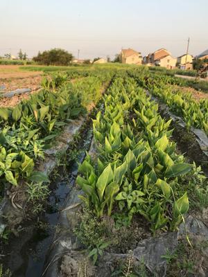 浙江省杭州市萧山区粉美人蕉 20cm以上 2.5~3米