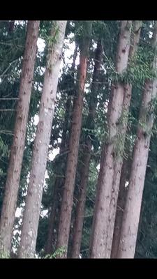 云南省丽江市玉龙纳西族自治县秃杉