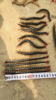 湖北省随州市广水市蜈蚣17厘米以上