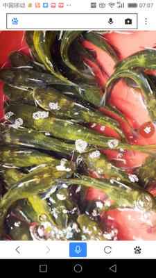 广西壮族自治区钦州市钦南区网箱黄颡鱼 人工殖养 0.1公斤