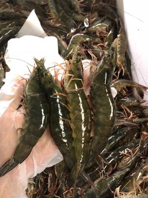 重庆渝北区南美对虾 人工殖养 7-9钱