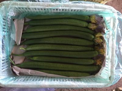 山东省潍坊市安丘市鲜花丝瓜 40cm以上