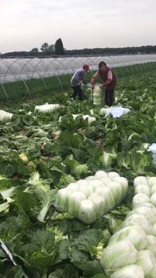 江苏省盐城市东台市菊锦春白菜 3~6斤 净菜