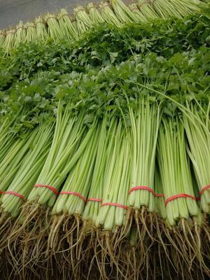 山东省聊城市东昌府区香芹 55~60cm 大棚种植 0.5斤以下