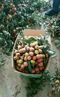 广西壮族自治区钦州市灵山县三月红荔枝 2cm