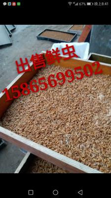 山东省菏泽市牡丹区黄粉虫