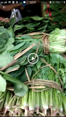 河北省廊坊市固安县大叶菠菜 25~30cm