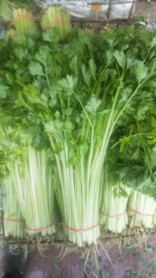 陕西省西安市雁塔区香芹 40~45cm 大棚种植 0.5斤以下