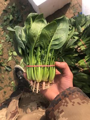 陕西省西安市雁塔区小叶菠菜 20~25cm