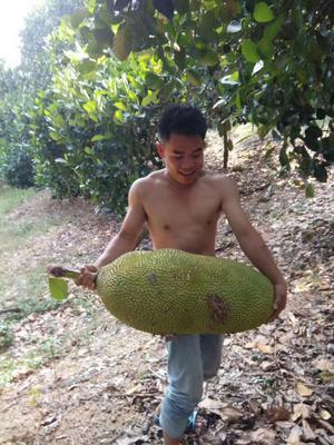 海南省三亚市吉阳区海南菠萝蜜 10-15斤