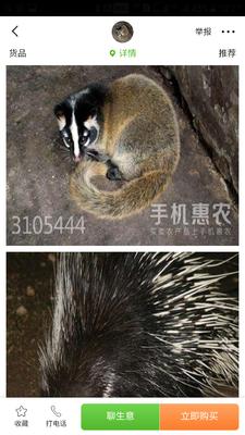 广西壮族自治区桂林市兴安县中华豪猪 20-30斤