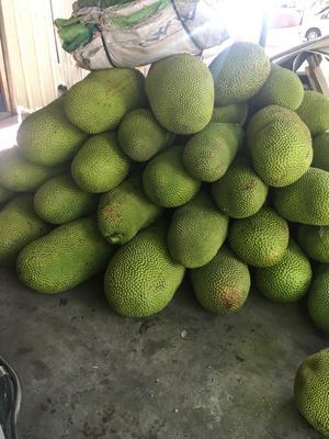 海南省三亚市吉阳区海南菠萝蜜 15斤以上