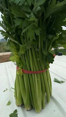 河南省商丘市柘城县皇妃芹菜 55~60cm 0.5斤以下 大棚种植