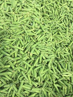 云南省昭通市昭阳区水果豌豆 7-10cm 较饱满