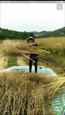湖南省株洲市茶陵县自榨纯菜籽油 5L以上
