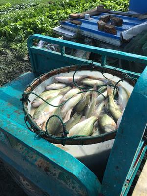 浙江省湖州市南浔区加州鲈鱼 人工养殖 0.5公斤以下