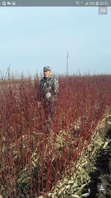 黑龙江省哈尔滨市松北区丛生红瑞木