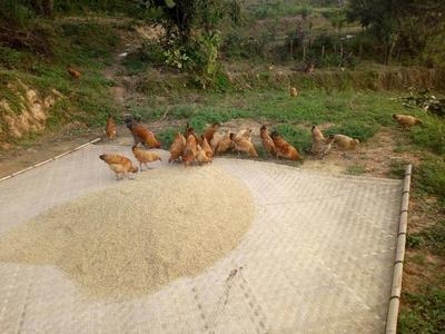 这是一张关于土鸡 统货 4-5斤的产品图片