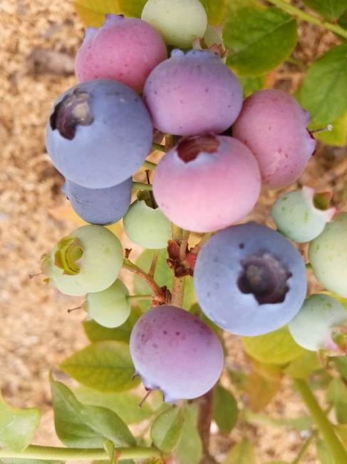 蓝丰蓝莓 鲜果 10 - 12mm以上