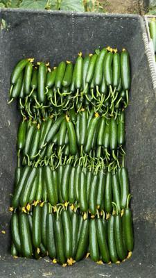 山东省潍坊市寿光市荷兰小黄瓜 18cm以下 鲜花带刺