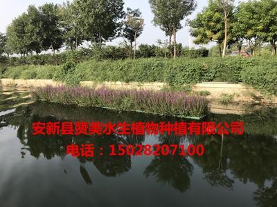 河北省保定市安新县千屈菜