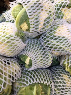 云南省大理白族自治州大理市白花菜花 紧密 2~3斤 乳白色