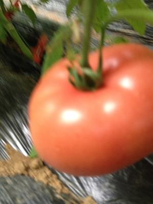 山东省烟台市海阳市普罗旺斯番茄 不打冷 软粉 弧三以上