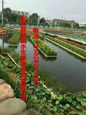 河北省保定市安新县大花美人蕉 2cm以下 0.5米以下