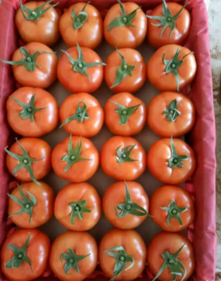 云南省红河哈尼族彝族自治州弥勒市石头番茄 不打冷 硬粉 弧三以上
