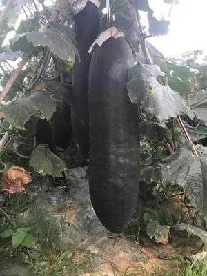 广西壮族自治区南宁市江南区黑皮冬瓜 15斤以上 黑皮