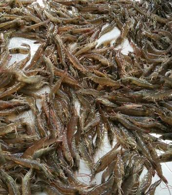 广东省中山市中山市南美白对虾 人工殖养 2-4钱