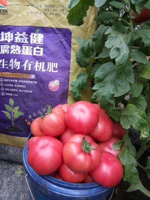 河北省沧州市肃宁县大红硬果 不打冷 大红 通货