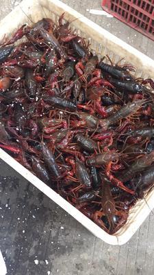 这是一张关于清水小龙虾 人工殖养 5-7钱的产品图片