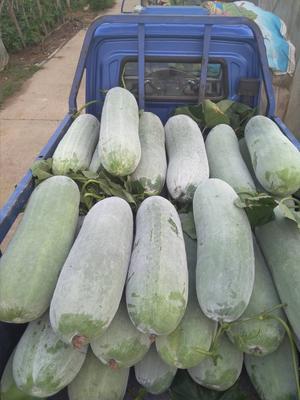 安徽省芜湖市三山区白皮冬瓜 30斤以上 白霜