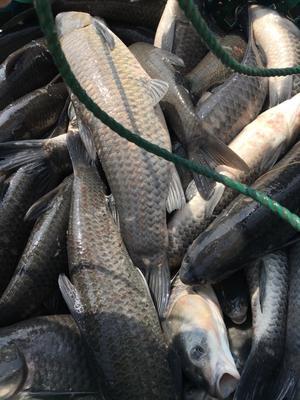浙江省湖州市南浔区淡水青鱼 人工养殖 0.05公斤