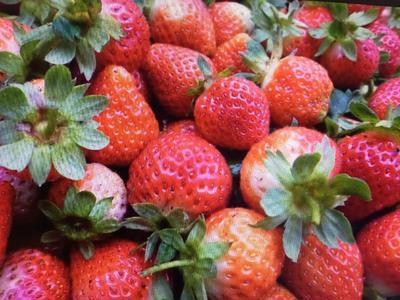 北京顺义区有机草莓 30克以上