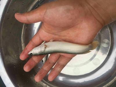 这是一张关于白乌鱼苗的产品图片