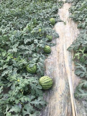四川省德阳市旌阳区特小凤西瓜 有籽 1茬 9成熟 2斤打底