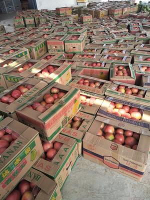 河南省安阳市滑县硬粉番茄 不打冷 硬粉 通货