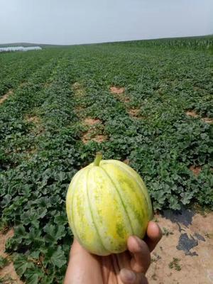 辽宁省沈阳市苏家屯区八里香甜瓜 0.5斤以上