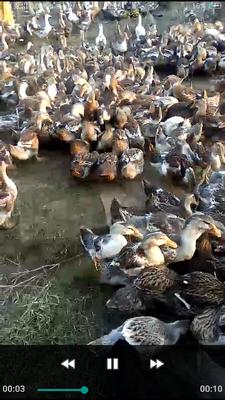这是一张关于杂交鸭 统货 半圈养半散养 4-5斤的产品图片