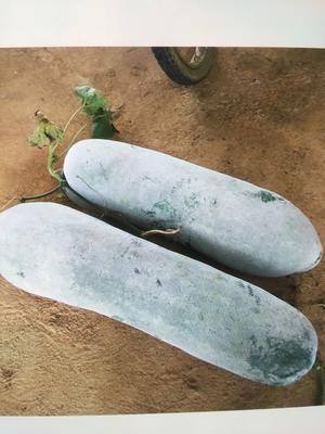 广西壮族自治区崇左市龙州县白皮冬瓜 15斤以上 白霜