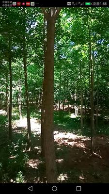 辽宁省大连市旅顺口区银杏实生树