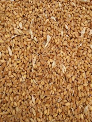 河北省保定市高碑店市混合小麦