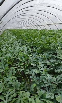 江苏省盐城市东台市8424西瓜 有籽 1茬 8成熟 8斤打底