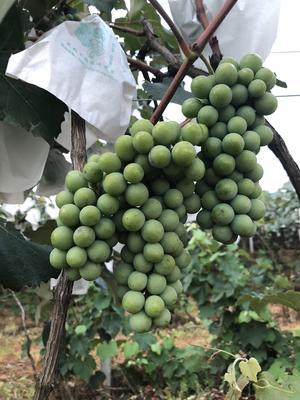 云南省红河哈尼族彝族自治州弥勒市水晶葡萄 10%以下 1次果 1.5- 2斤