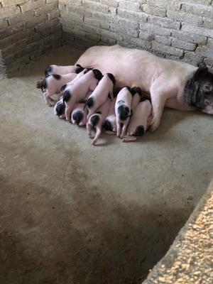 湖北省咸宁市咸安区巴马香猪 40-60斤