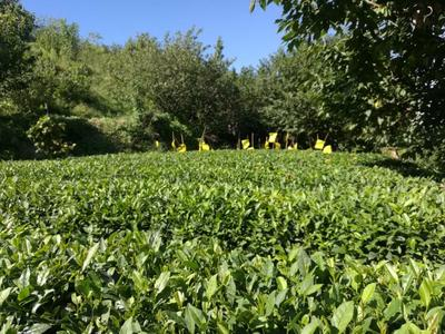 山东省青岛市崂山区崂山绿茶 袋装 一级