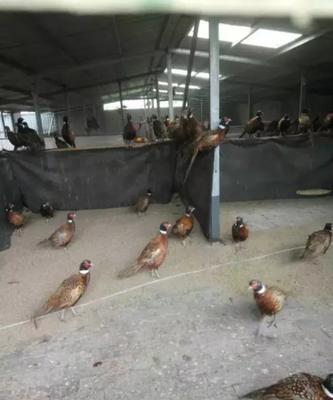 河南省郑州市登封市野山鸡 2-3斤