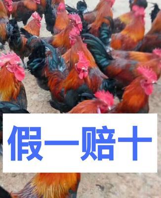广西壮族自治区南宁市西乡塘区血毛土鸡苗